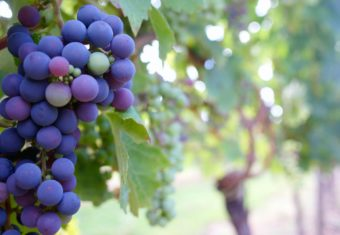 Kindness Is Like A Cluster Of Grapes